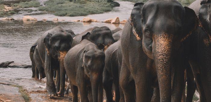 А чи ви знали, що слони займають важливе місце в житті Шрі-Ланки?